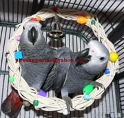TOP QUALITY AFRICAN GREY PARROTS FOR ADOPTION