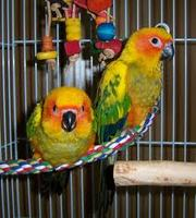 Small birds, Conures