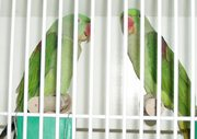 Friendly Alexandrine Parakeet birds For Sweet Home