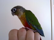 beautiful green cheek conures babys for sale