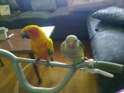 incredibly friendly female sun conure