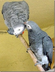home raised african greys..