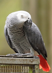 beautiful african greys for adoption