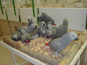 Healthy parrots,  chicks and eggs for sale.