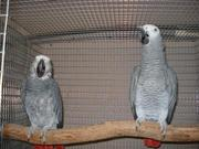 Gorgeous And Hand Fed African Grey Parrots