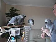 Great Talking Pair Congo African Grey Parrots Ready To Go.