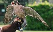 peregrine falcon for free adoption