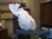 Cockatoo,  Amazons,  Macaw and Parrots for sale