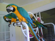 DIFFERENT SPECIES OF PARROTS AND FERTILE EGGS AVAILABLE