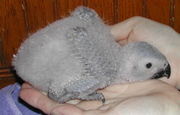 Beautiful Hand-Fed Baby and Adult Parrots For Sale