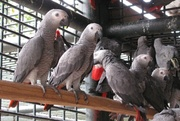 Home raised  male and female African Grey parrots for adoption.