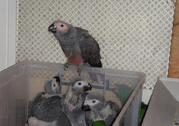 Gorgeous Hand-fed Baby Parrots For Sale