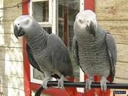 Beautiful and cute pair of African Grey parrots