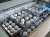 CAN BIRDS African Grey parrots with Fertille Eggs for sale