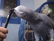 TALKATIVE PAIR AFRICAN GREY PARROTS FOR SALE